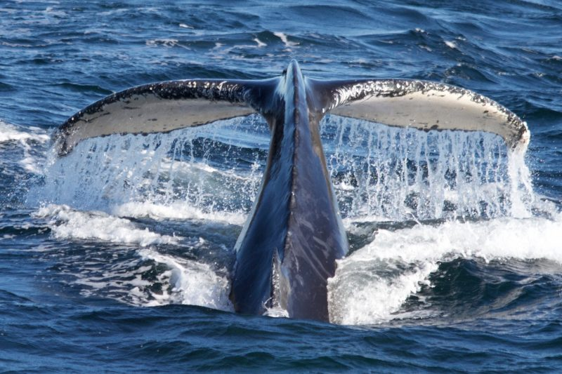 Whale Tail taken aboard True Blue, Sydney 2016