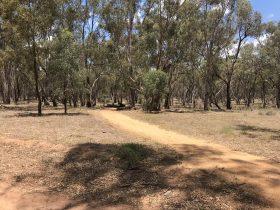 river red gum, aboriginal, wiradjuri