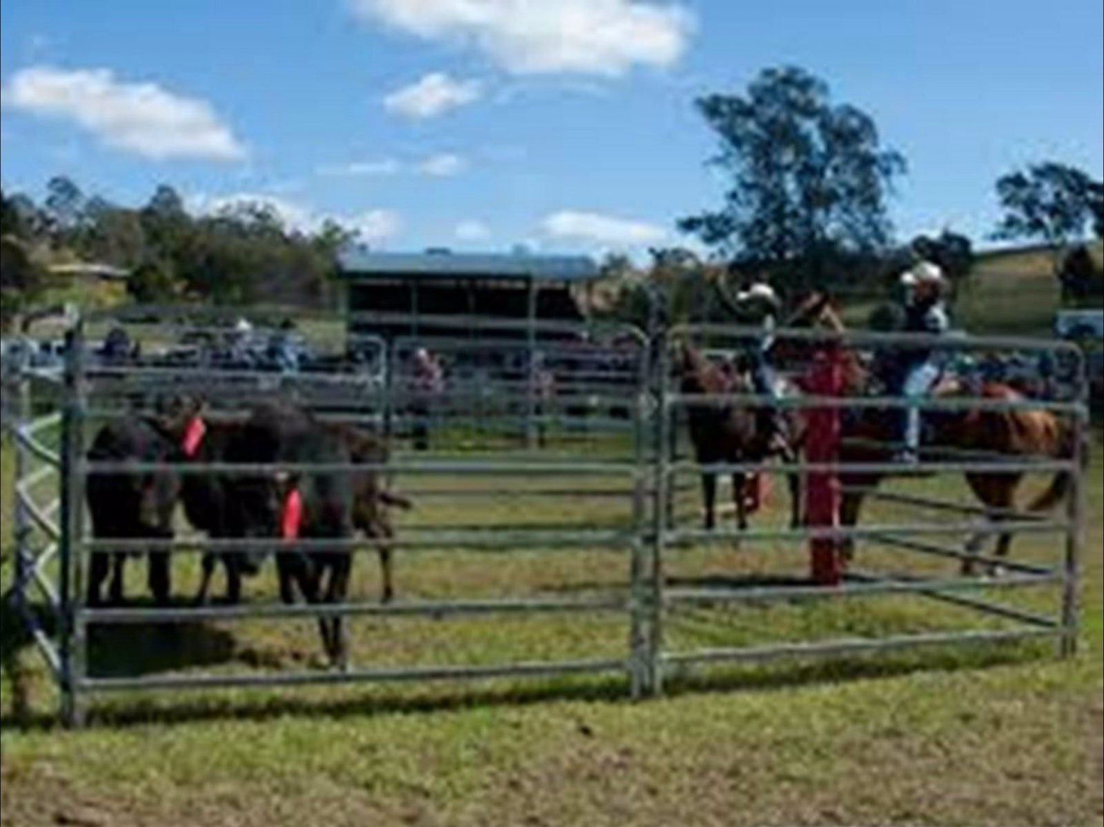 Team Penning and Arena Sorting