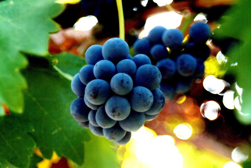 Bunch of Grapes - Ideal growing conditions producing fine wines