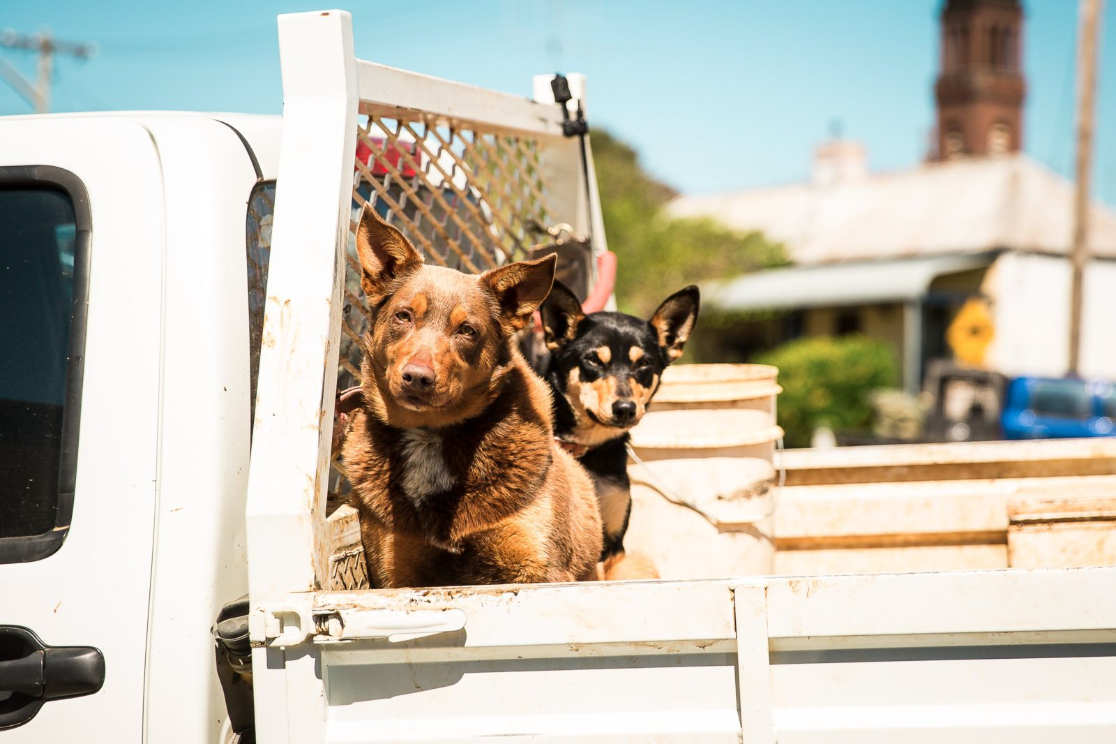 Working dogs are part of the fabric of the Hilltops Region
