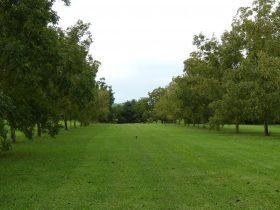 Lush Green Pecan Orchard