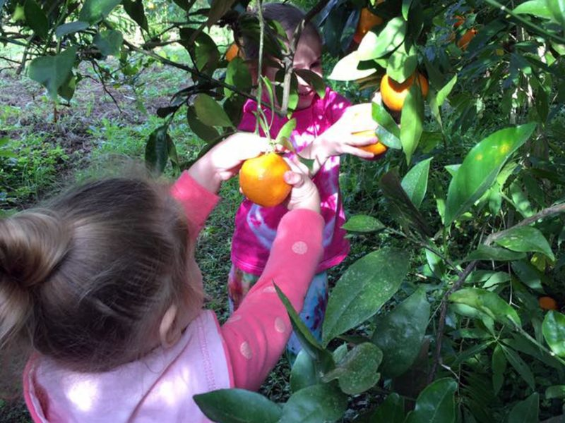 Child picking oranges in orchard