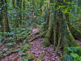 Helmholtzia loop walking track, Border Ranges National Park. Photo: John Spencer