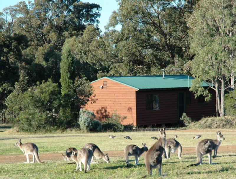 Kangaroos at Dusk and Dawn
