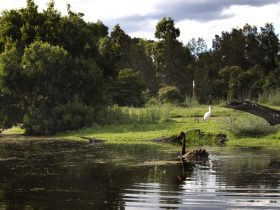 Swans and Egrets onsite