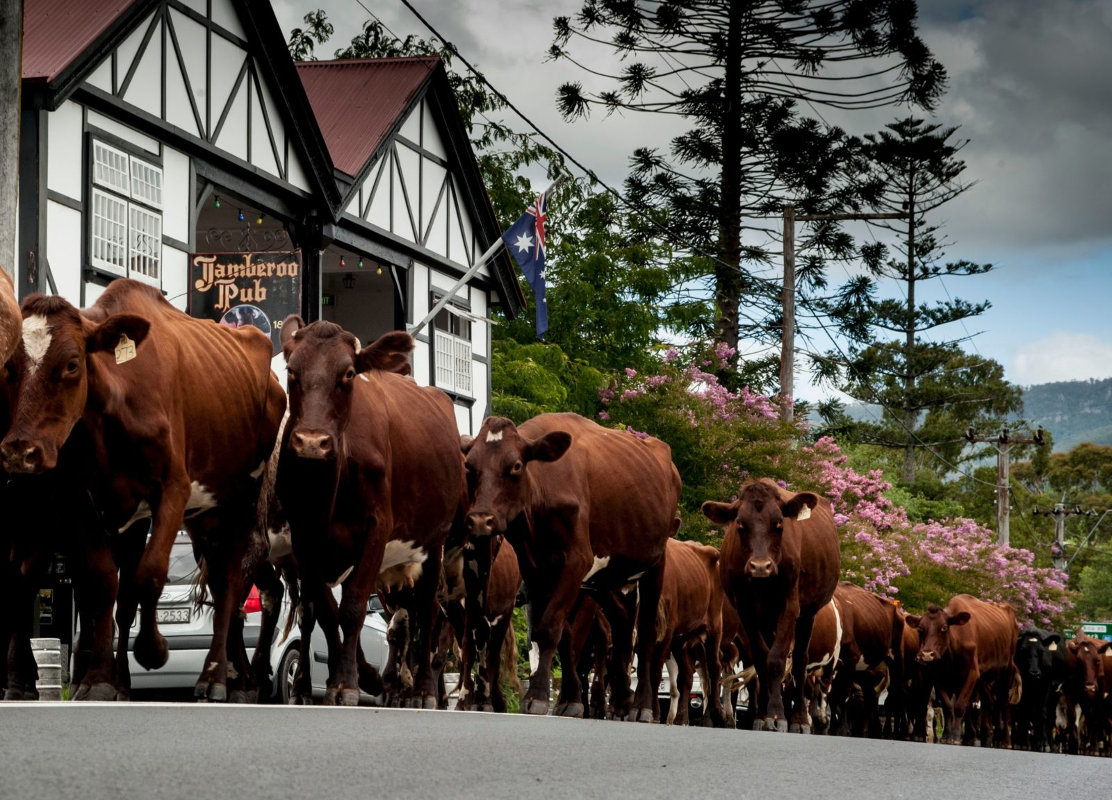 Cattle in the main street of Jamberoo
