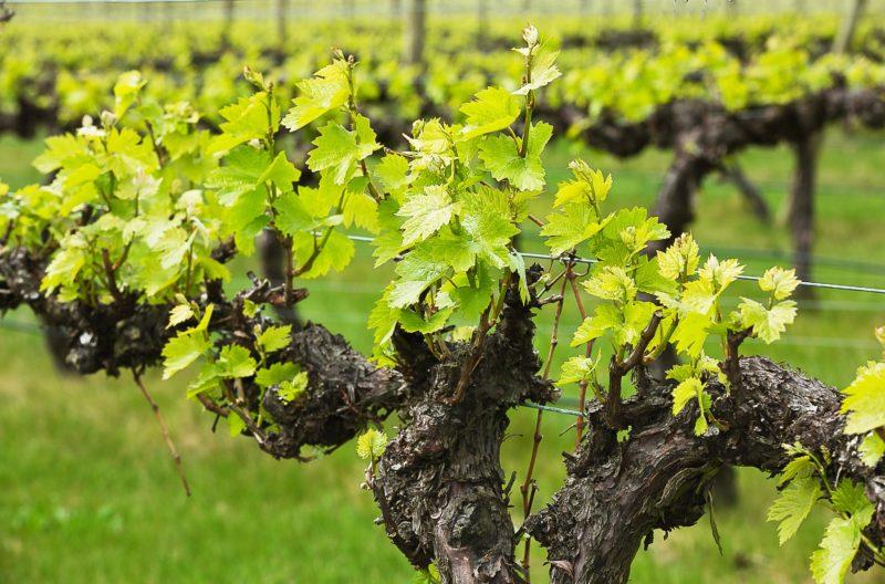 Vines at Brangayne