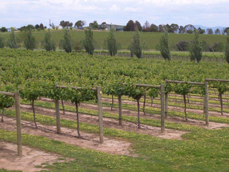 Jeir Creek vines