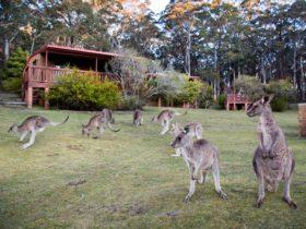 Kangaroos graze around the Jenolan Caves Cottages.
