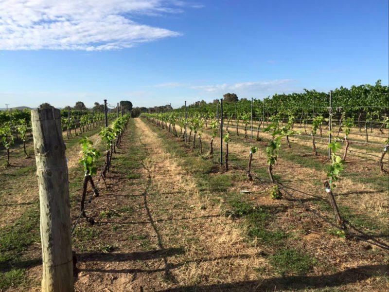 Joshua's Vineyard