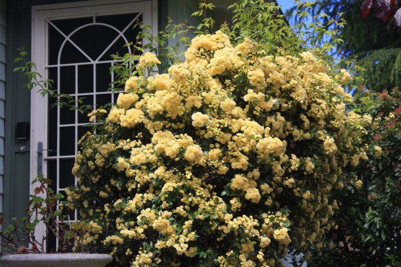 Spring climbing rose blossom