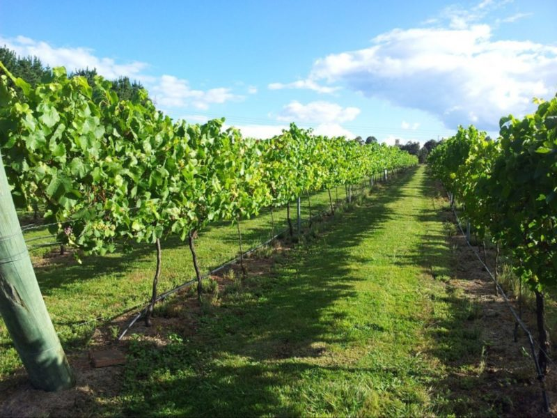 Vineyards at Cherry Tree Hill