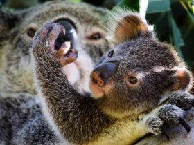 Koala Care Centre