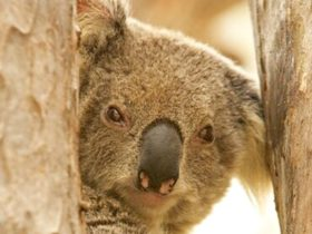 Koala Reserve, Murrumbidgee Valley National Park. Photo: OEH