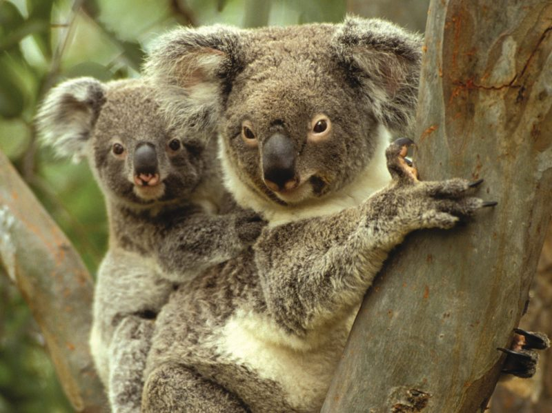 Mother Koala with baby on back sitting in Gum tree