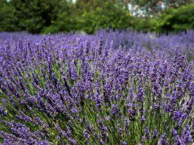 Lavender in full bloom