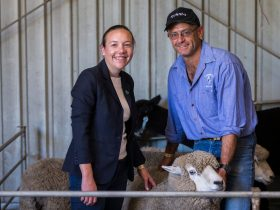 A woman and man handling sheep at Lithgow Show