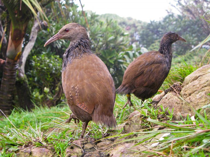 Lord Howe Island Bird Week