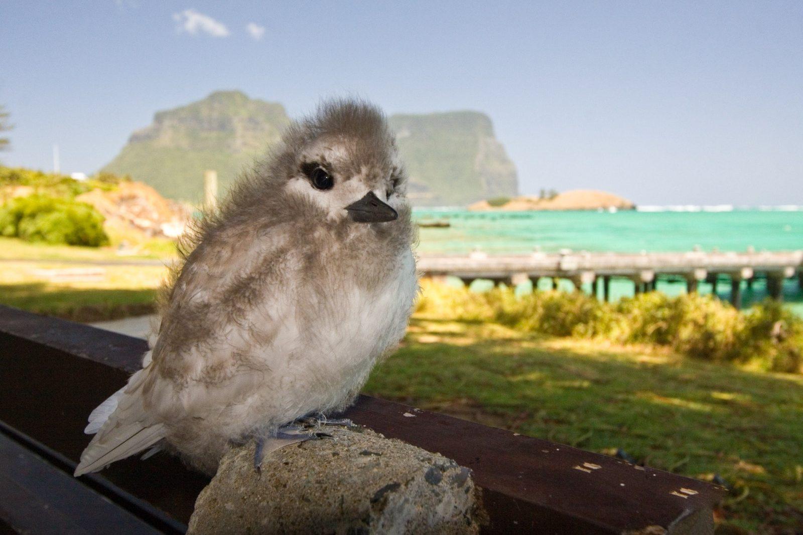 Birdwatching Lord Howe Island