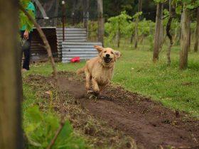 Rosie in the vineyard