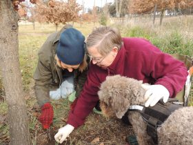 Lagotto Romagnolo dog Fahren finds truffle