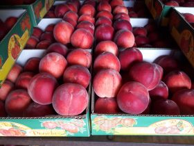 White peaches harvested first week of January