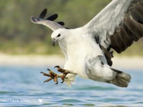 A huge White-bellied Sea Eagle strikes a fish just a few metres away from the camera