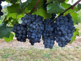 MCE Vineyard