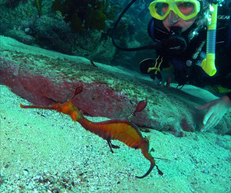 Diving with Weedy Sea Dragon