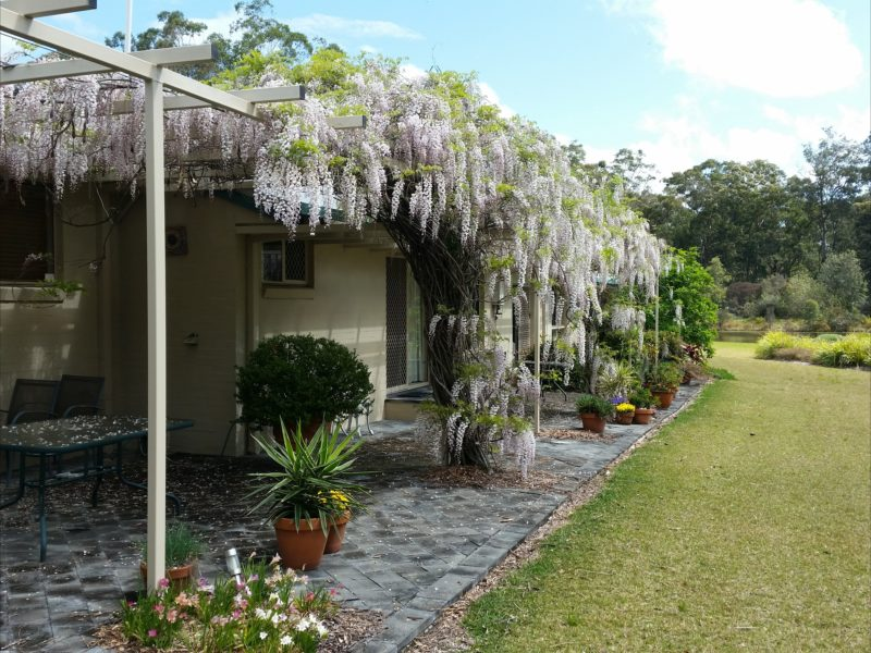 Beautiful wisteria covered pergola along northern side of house.