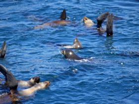 Australian Fur Seals off Montague Island