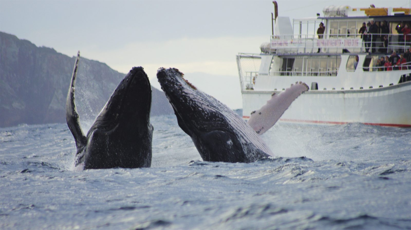 Whale Watching With Moonshadow - TQC Cruises Port Stephens