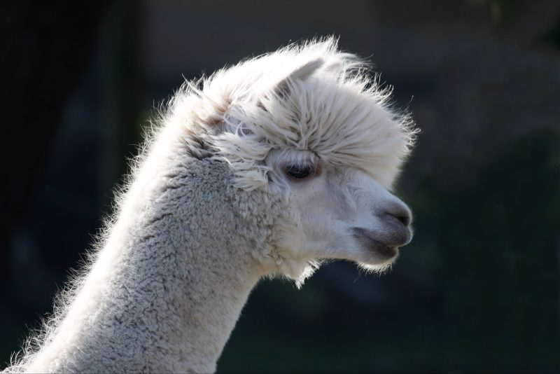 Farm Stay Alpaca