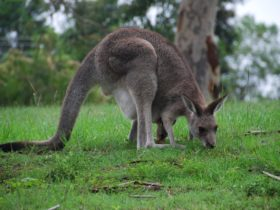 Kangaroo's at Mt Schoenstatt, Mulgoa