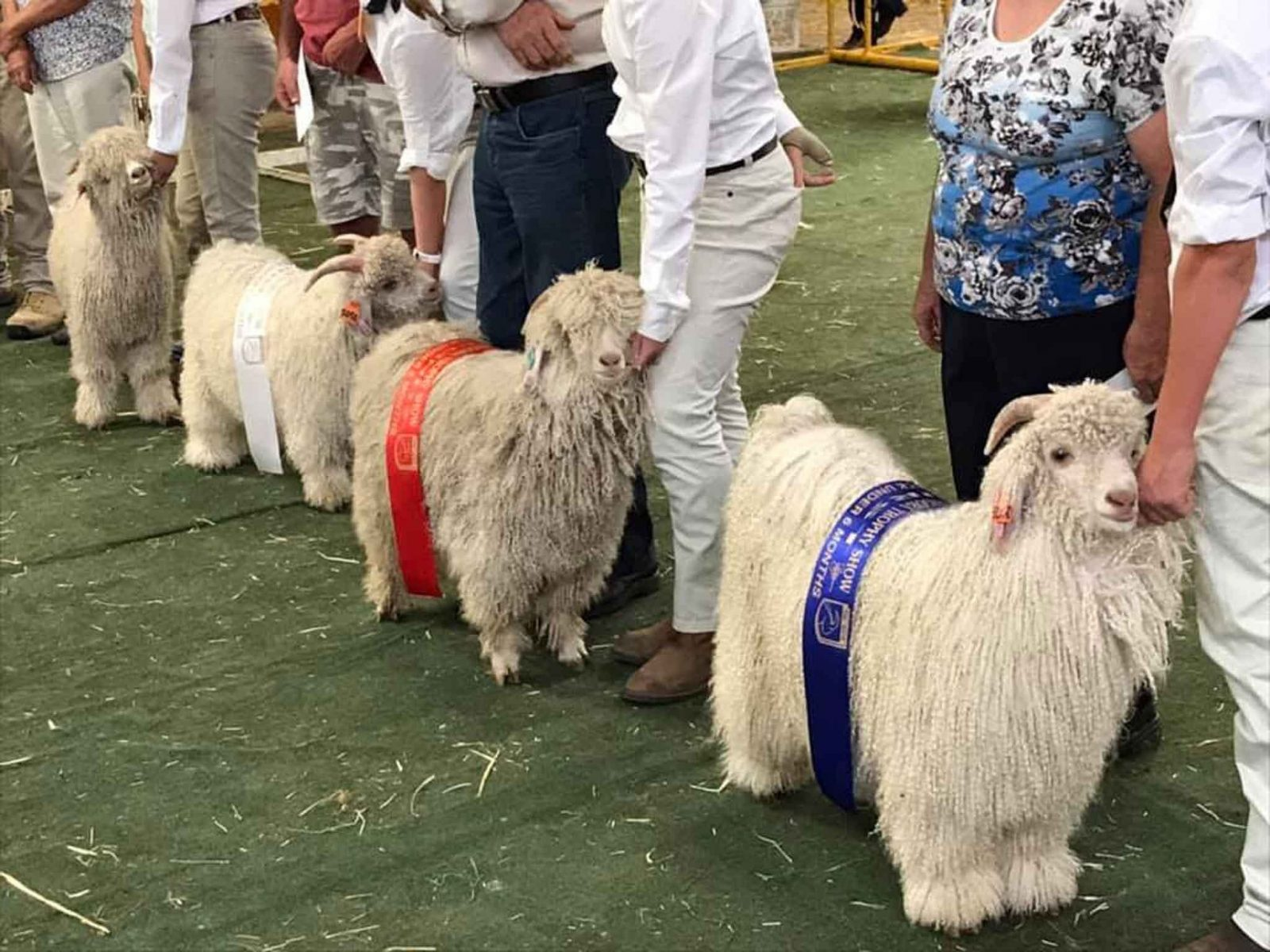 Goats lined up with ribbons over their backs