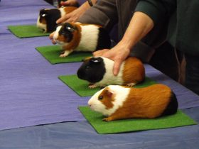 National cavy Show