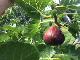 Black Genoa fig ripening on tree.