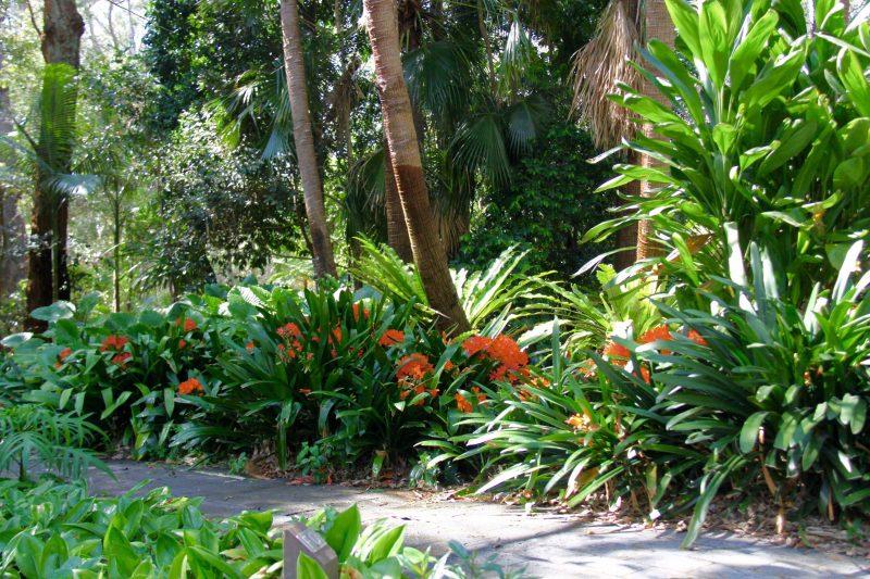 Clivia - North Coast Regional Botanic Garden