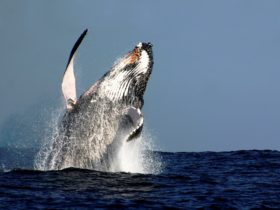 Breaching is where the whale lunges its whole body out of the water. Very spectacular.