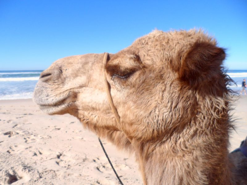 Port Macquarie Camel Safaris