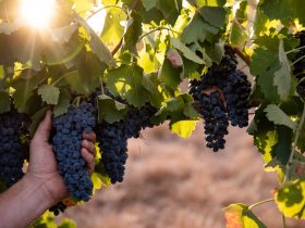Shiraz Grapes in the Printhie Wines Vineyard, Orange NSW 2800
