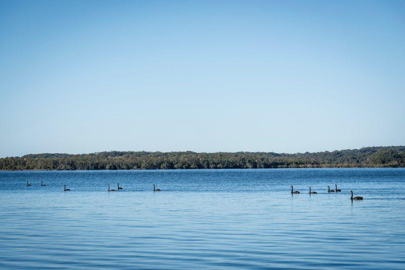 Queens Lake Nature Reserve Black Swans