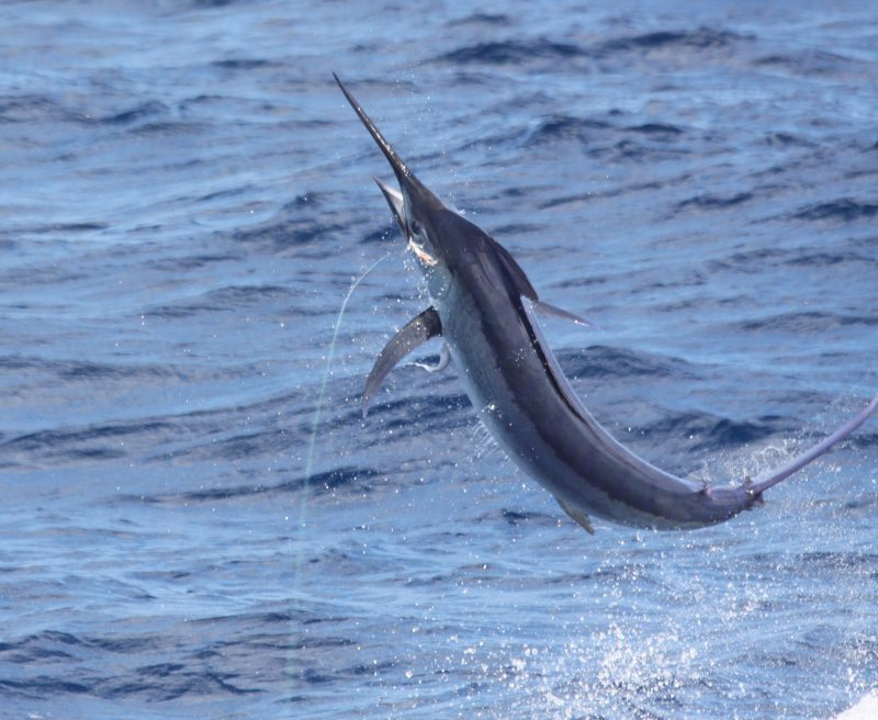 striped marlin putting on a show