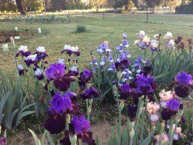 Riverina Iris Display of over 1000 iris varieties