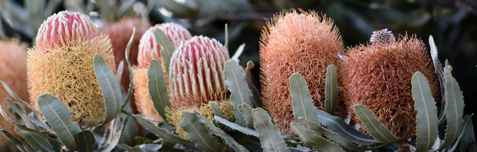 A row of banksia