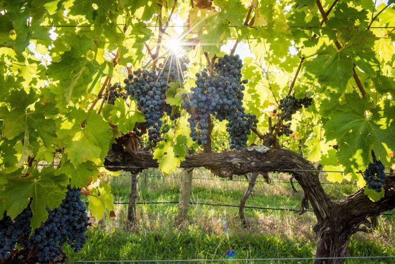 Pinot Noir Grapes on vine with sunlight shining from behind