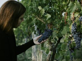 Checking the status of the grape bunches on the vine before harvest