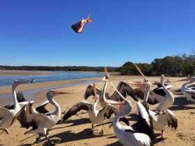 Feeding the Pelicans on Sandon River