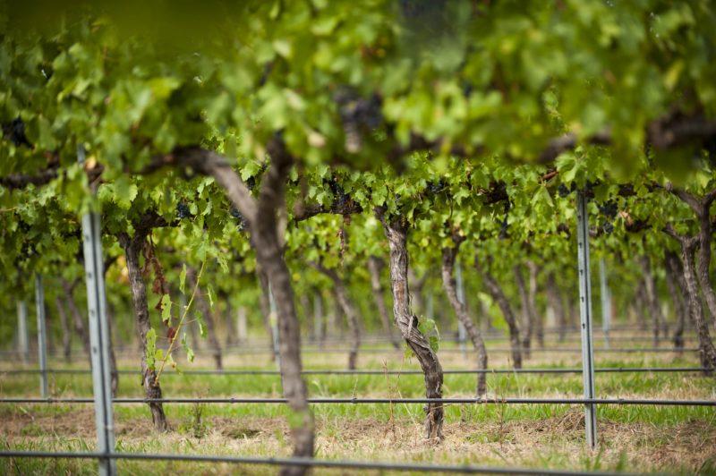 Grapevines at Shaw Vineyard